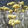 Elicriso, Helichrysum italicum, pianta medicinale