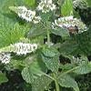 Menta, mentha spp., pianta medicinale