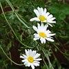 Piretro, Chrysanthemum cinerariaefolium, pianta medicinale