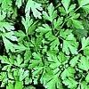 Prezzemolo, Petroselinum spp.,pianta medicinale