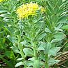 Rhodiola rosea,  famiglia Crassulaceae