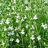 Santoreggia, Satureja spp., pianta medicinale