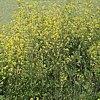 Senape, Sinapis spp., pianta medicinale