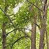 Tiglio, Tilia cordata, pianta medicinale