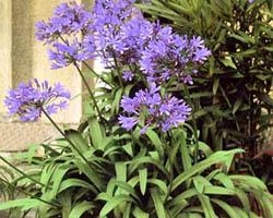 Piante velenose: Agapanthus