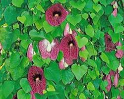 Piante velenose: Aristolochia