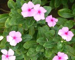 Piante velenose: Catharanthus