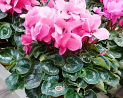 Piante velenose: ciclamino