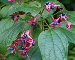 Piante velenose: Clerodendrum