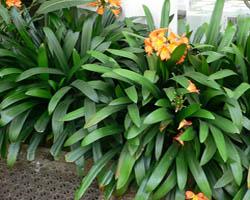 Piante velenose: Clivia