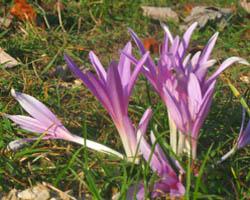 Piante velenose: Colchico d'autunno, Colchicum autumnale