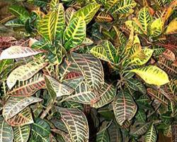Piante velenose: Croton