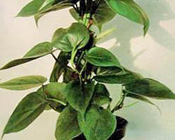 Piante velenose: filodendro