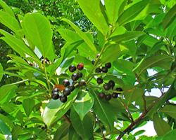 Piante velenose: Lauroceraso, Prunus laurocerasus