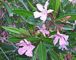 Piante velenose: Oleandro, Nerium oleander