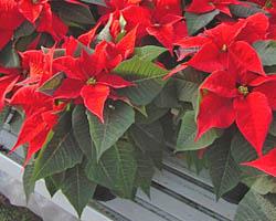 Piante velenose: Stella di Natale, Euphorbia pulcherrima, poinsettia