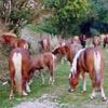 I cavalli del Bisbino: una storia a lieto fine