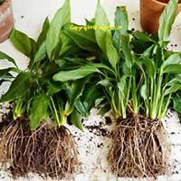 Moltiplicazione per divisione della pianta