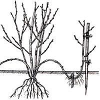 Moltiplicazione delle piante per propaggine
