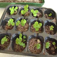 Moltiplicazione delle piante per semi