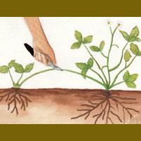 Moltiplicazione delle piante per stoloni