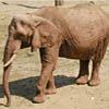 Barrito dell'elefante