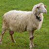 Belare della pecora