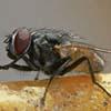 Suoni emessi dalla mosca