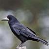 Suoni e versi del corvo