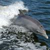Suoni emessi dal delfino