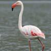 Canto del fenicottero rosa