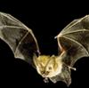 Suoni e versi del pipistrello