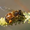 Suoni emessi dall'ape