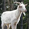 Belare della capra, suoni emessi dalla capra
