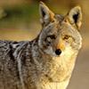 Verso suono del coyote