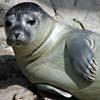 Suoni emessi dalla foca comune