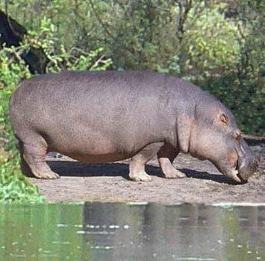 Verso suono dell'ippopotamo