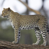 Versi del leopardo