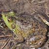 Suoni e versi emessi dalla rana toro