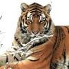 Suoni e versi emessi dalla tigre