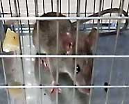 Ratto, topo, cattura di un topo